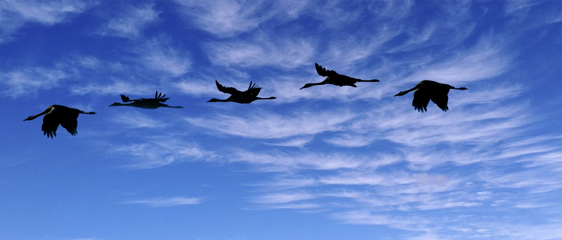 Grullas volando Exttremadura